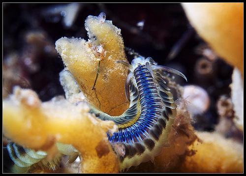 Polychaeta Phyllodoce sp.