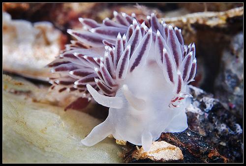 Seaslug Coryphella verrucosa